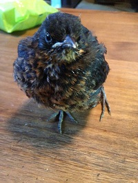 Juvenile Blackbird with an injured leg and wing