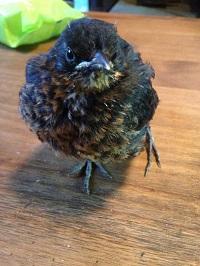 Juvenile Blackbird with an injured leg and wing