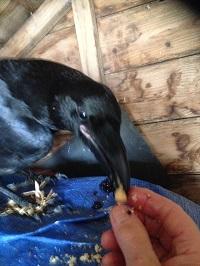 Raven that has been shot